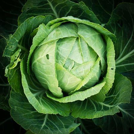 dewdrop: Green Cabbage with dewdrop on dark background Stock Photo