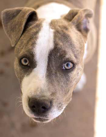 Looking directly into a scared dogs eyes - amstaff lady.