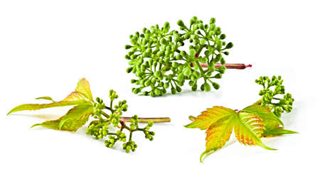 Ornamental plant. Summer plant with branches and vines climbing liana of the family. The plant has a forked thread, which deal more. The stem bark of gray, red-brown at the ends of branches. Radiated compound leaves of five leaflets, with a sharp point. L photo
