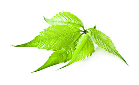 radiated: Ornamental plant. Summer plant with branches and vines climbing liana of the family. The plant has a forked thread, which deal more. The stem bark of gray, red-brown at the ends of branches. Radiated compound leaves of five leaflets, with a sharp point. L