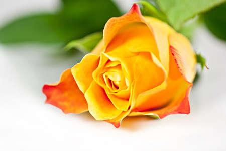 rosas naranjas: Sobre un fondo blanco naranja aumentó