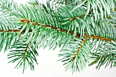 fir twig: Isolated on a white background fir twig. Conifer. Stock Photo
