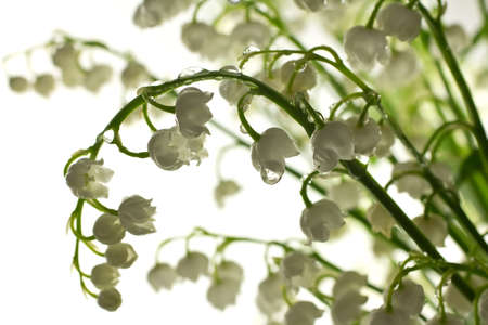 muguet: Rain drops on the lily of the valley. Stock Photo