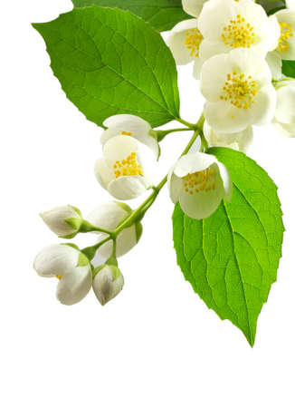 Branch of jasmin on white background. Stockfoto