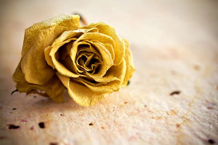 Dried rose on a old paper background. photo