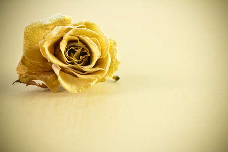 Dry rose on gold background.