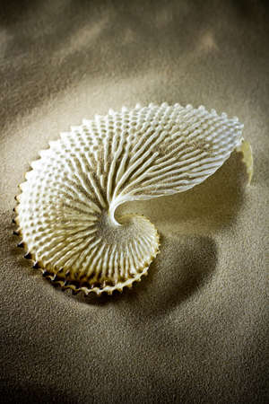 Large white finny sea shell sand, studio picture.