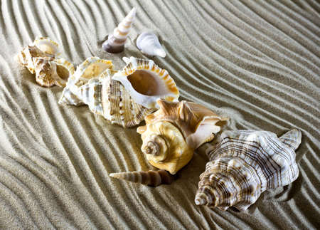 scallop shell: Sea shells on the sand.