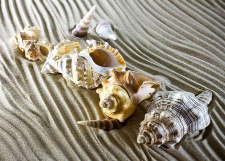 macro image: Sea shells on the sand.