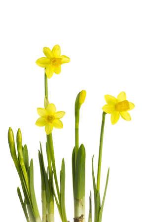 Daffodi isolated on a white background.