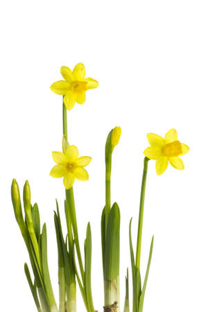 Daffodi isolated on a white background.