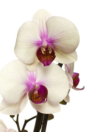 White orchid with buds isolated on a white background. photo