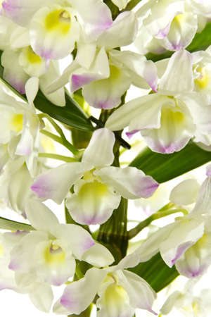 White orchid isolated on a white background. photo