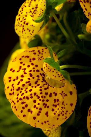 calceolaria: Calceolaria yellow flowers, macro photography