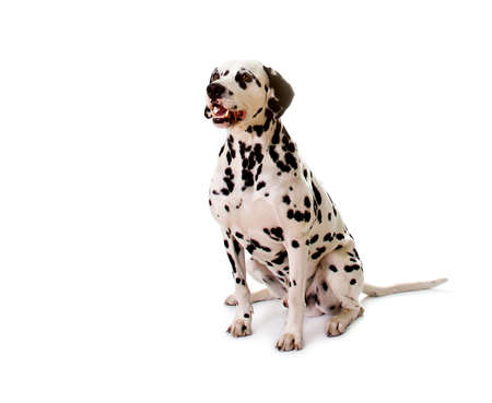 Dalmatian sitting in front of white background. Stock Photo - 13167514