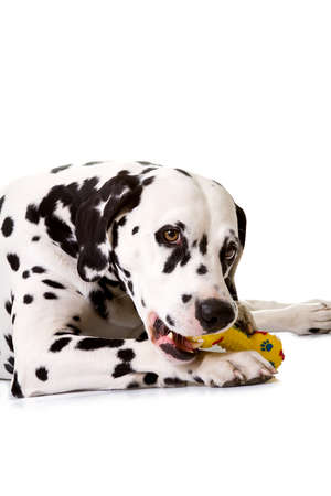 Dalmatian, lying down in front of white background, studio shot. photo