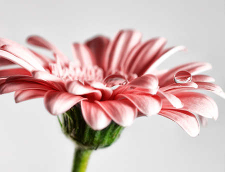 Dew water drops on gerbera daisy   photo