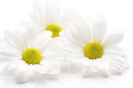 Chrysanth�me blanc isol� sur fond blanc