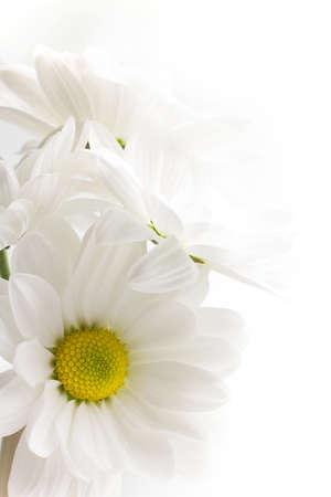 margriet: Witte chrysant geïsoleerd op een witte achtergrond.