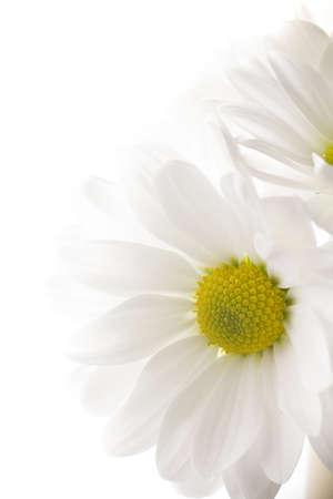 white daisy: White chrysanthemum isolated on white backgrounds.