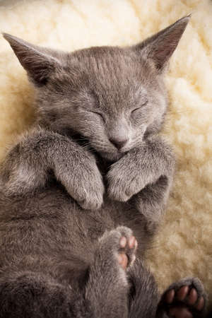 Kitten sleeping, russian blue cat  photo