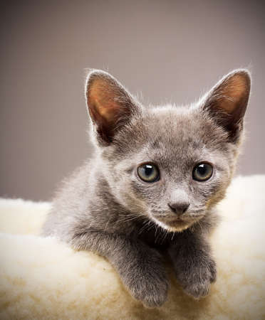 Kitten, russian blue cat. Stock Photo - 18563367