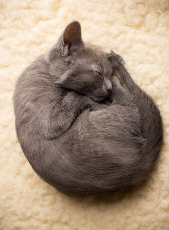 Kitten sleeping, russian blue cat. photo