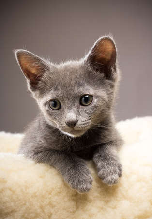 Kitten, russian blue cat. Stock Photo - 18563357