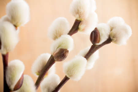 catkins: Large soft Easter catkins  Stock Photo