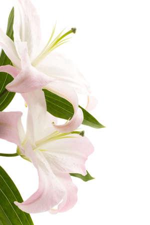 lily flowers: Lily aislado en el fondo blanco Foto de archivo
