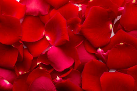 Rose petals background. photo