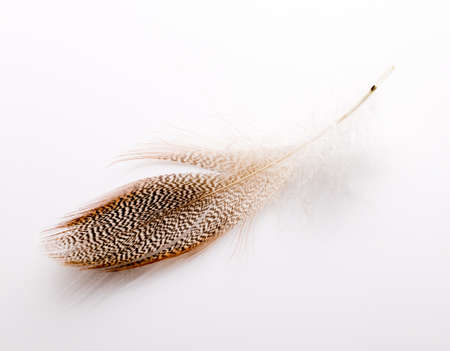 Chicken feather on a white background. photo