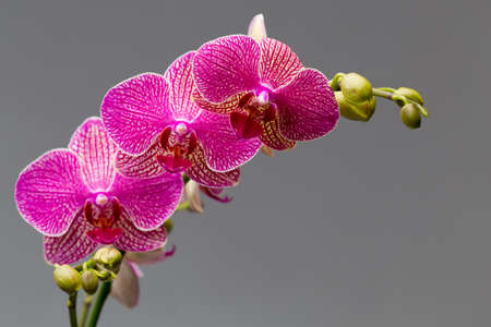 orchid flower: Pink orchid on a gray background. Studio photography.   Stock Photo