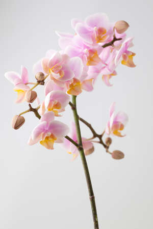 studio photography: Orchid on a wooden surface. Studio photography.