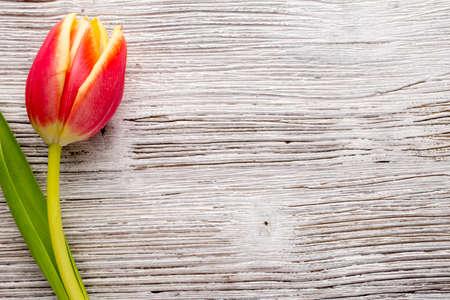 tulipan: Tulipany na powierzchni drewnianych. Studio fotografii.