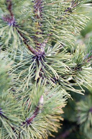 coniferous tree: Coniferous tree branch with cones.