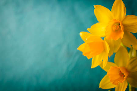 Yellow daffodils on a colored background. Easter greeting card.