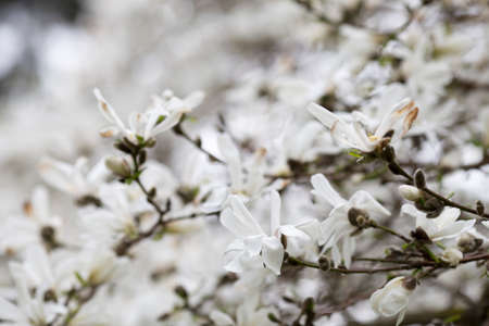 white blossom: Magnolia flowers bloom in spring. Beautiful picture.