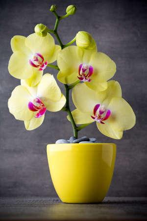 orquideas amarillas Orquídeas amarillas en el fondo gris.