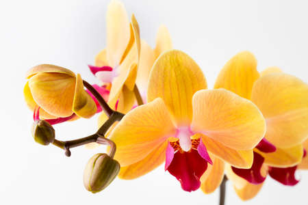yellow orchid: Beautiful yellow orchid on the white background. Stock Photo