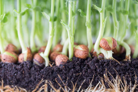 sprout: Organic pea sprouts in white backround.