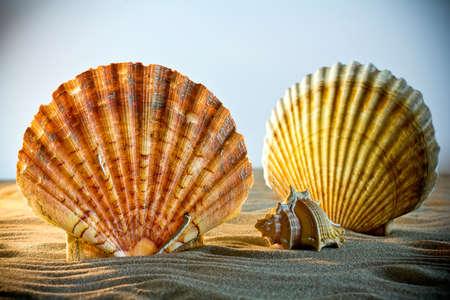 shellfish: Sea Shells Seashells, sea shells from beach - panoramic - with large scallop shell.