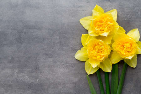 Yellow daffodils on a grey background. Easter greeting card.