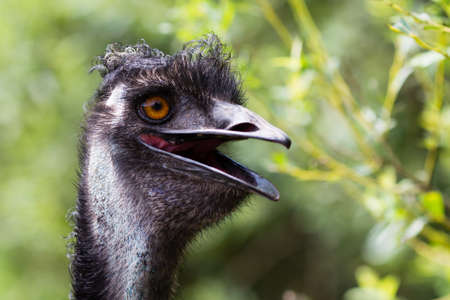 gazing: Young  Emu bird gazing at the camera. Stock Photo