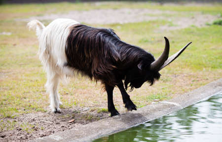 billy goat: Billy goat on the wild national park.