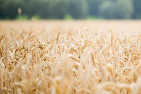 spica: Field of rye. Wheat of field.