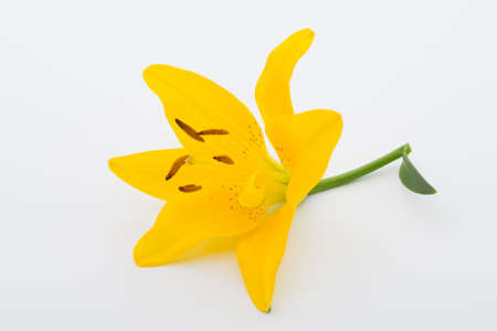 Lilly flower with buds on a white background. Stock Photo