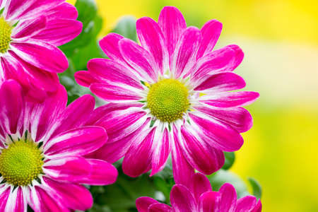 marguerite: Pink chrysanthemum  on yellow backgrounds.