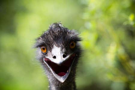 emu: Emu ave joven mirando a la cámara.