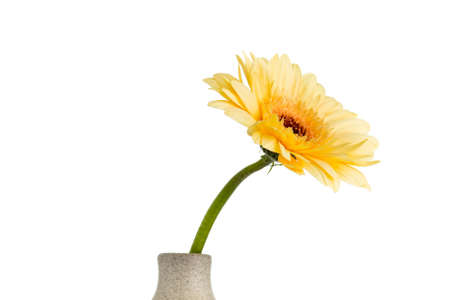 home accent: Gerbera flower on the vase, isolated white background. Stock Photo